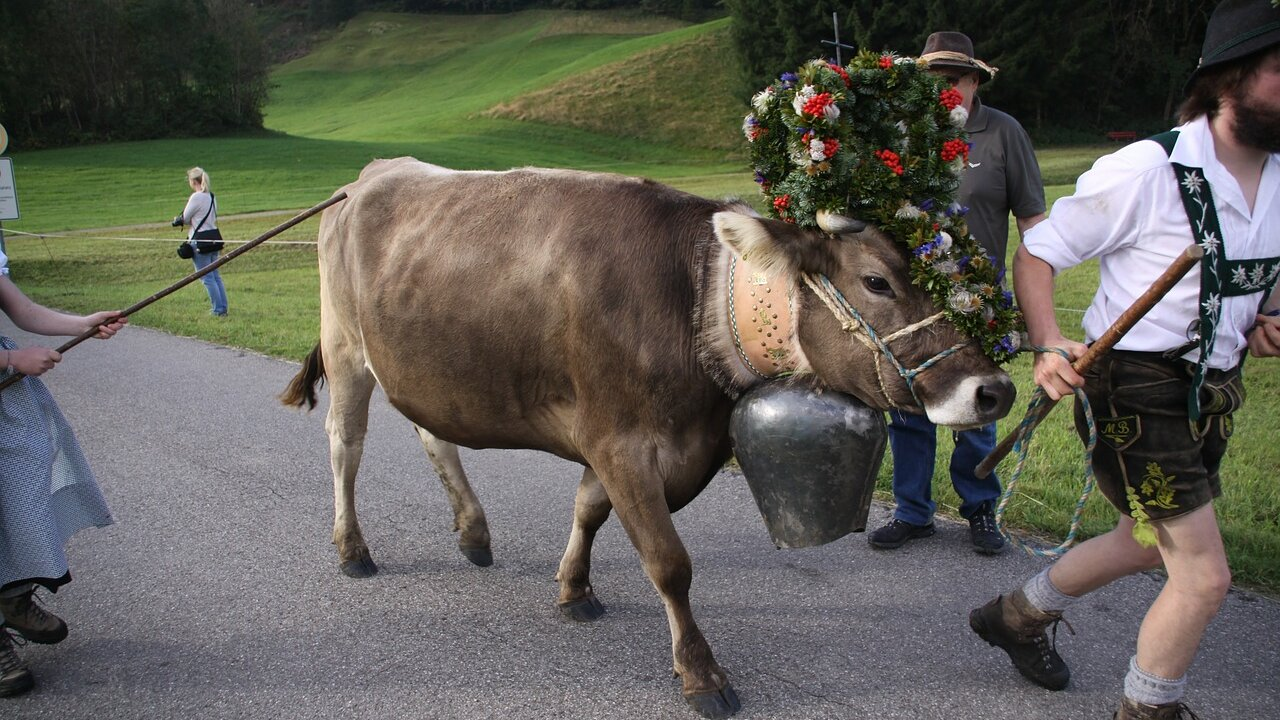 Event Driving down of cattle in Sesto