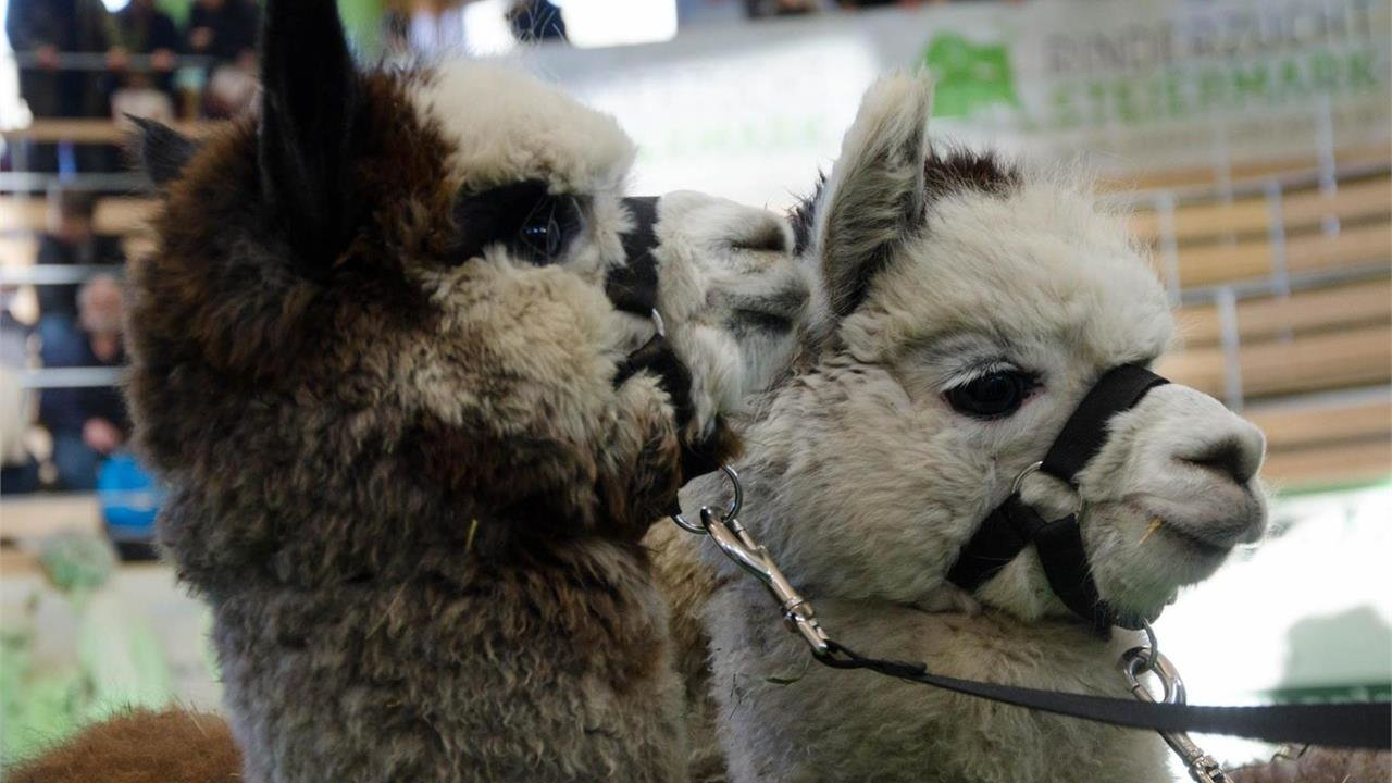 Event Hike with visit to an alpaca breeding